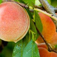 Peche de Vigne (French Peach) Fragrance Oil