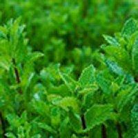 Spring Mountain Mint Fragrance Oil