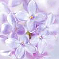 French Lilac Fragrance Oil