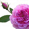 Damascus Rose Fragrance Oil