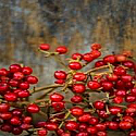 Cranberry Woods *type*  Fragrance Oil