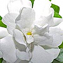Gardenia Tropicale Fragrance Oil