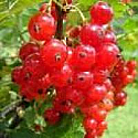 Sunkissed Currants Lip Balm Flavor